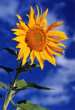 Sunflower - Greg Summers (1033438335)